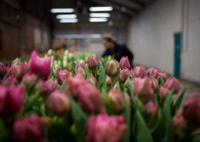 borst-bloembollen 1