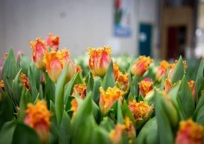 borst-bloembollen 3