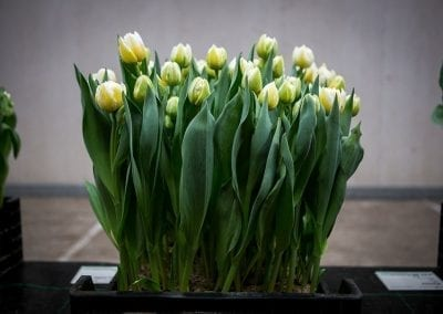 borst-bloembollen 6