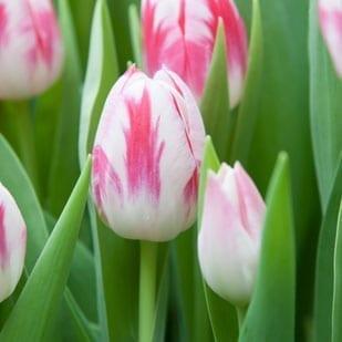 Haakman Flowerbulbs tulp