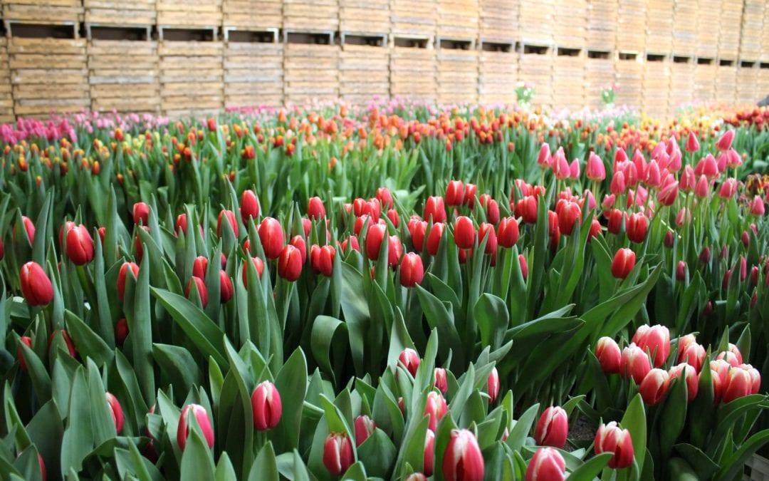 Internationaler wordende tulpenverkoop trekt groter publiek naar Tulip Trade Event